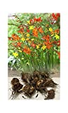 "GARTHWAITE NURSERIES® : - UK Stockist : - 10 Crocosmia Mixed ""Montbretia"" Bulbs/Corms Hardy Summer Garden Perennial"