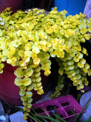 Goldilocks Moneywort - Lysimachia - Creeping Jenny - Live Plant - Quart Pot