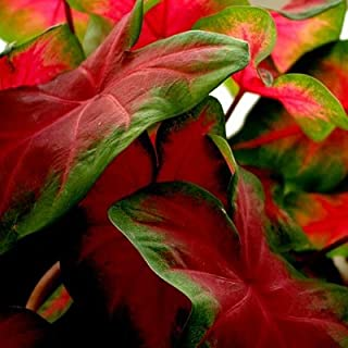 10 Caladium Bulbs Freida Hemple - Full Shade - Dark Red Center with Scarlet Main Veins and Green Border - #1 Red Variety for Pot Plant Production