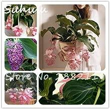 100 Teile//beutel Brugmansia Stechapfel Samen Bonsai Blumensamen Pflanzen F/ür Hausgarten Dekoration Bonsai Samen Pflanze