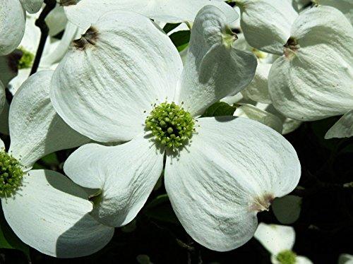 Amerikanischer Blumen-Hartriegel Cornus florida