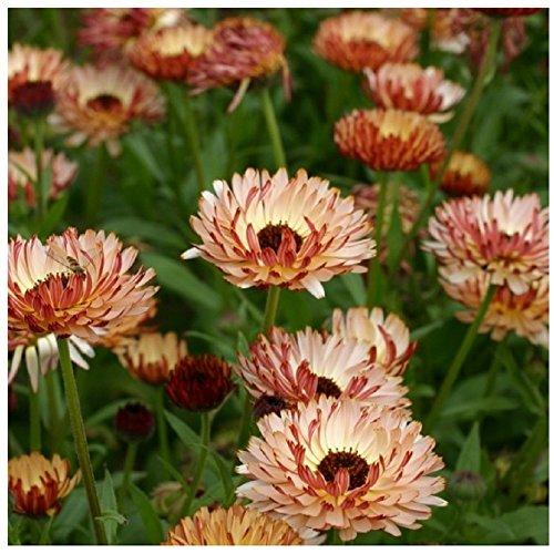 Lot de 10 graines de Grand Souci Double de Jardin Sunny girl - plante annuelle