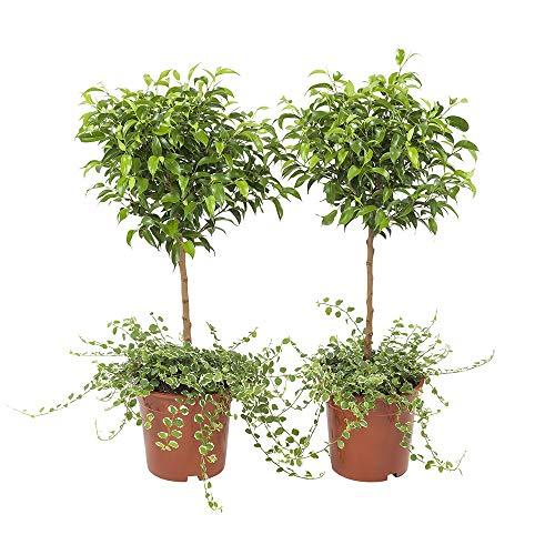 2er-Set Indoor-Helden Ficus pumila - Kletter-Ficus, Topf-Ø: 17 cm, Höhe: 65 cm, Kletterfeige Zimmerpflanze