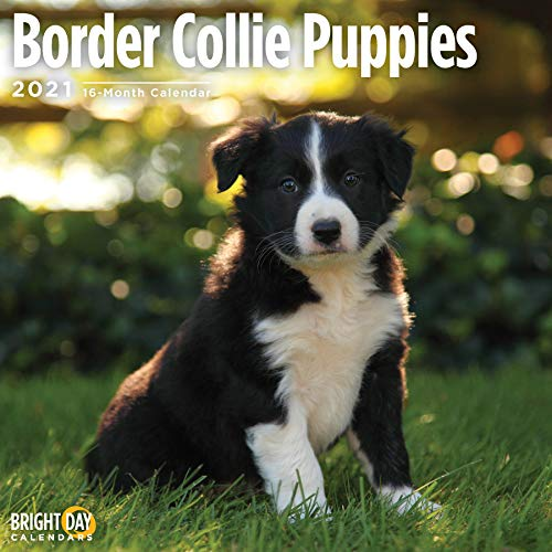 2021 Border Collie Puppies Wall Calendar by Bright Day, 12 x 12 Inch, Cute Dog
