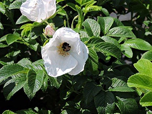 5 Stk. weiße Apfelrose, Hagebutte, Kartoffelrose 'Alba' - (Rosa rugosa 'Alba'), Containerware 40-60 cm