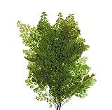 Decoflorales® - Konservierter Natur Lutti Farn; 1 Bund; Länge 14-18