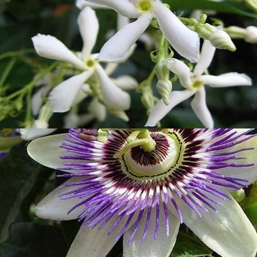 2-er set Passionsblume (Blau) + Sternjasmin (Weiβ)   Immergrün, Duftend und Winterhart - Mehrjärige blühende Kletterpflanzen- 2 X 1,5 Liter Topf