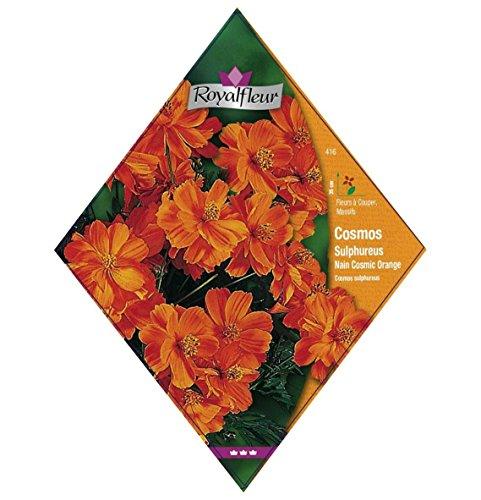 Royalfleur PFRV00416 Graines de Cosmos Sulphureus Nain Cosmic Orange