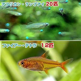 (熱帯魚)アフリカン・ランプアイ Sサイズ(20匹) + ファイアー・テトラ(12匹) 北海道・九州・沖縄航空便要保温