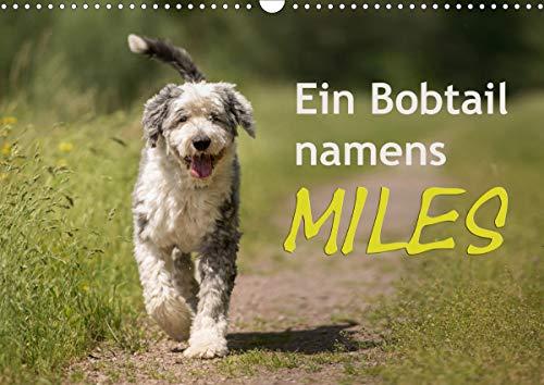Ein Bobtail namens Miles (Wandkalender 2021 DIN A3 quer)