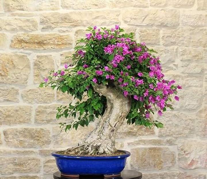 bonsai di bougainvillea sanderiana (50) pollice verde bm-bs50