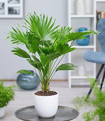 BALDUR-Garten Palme 'Livistona Rotundifolia' ca. 40 cm hoch, 1 Pflanze Zimmerpalme Rundblättrige Schirmpalme Zimmerpflanze