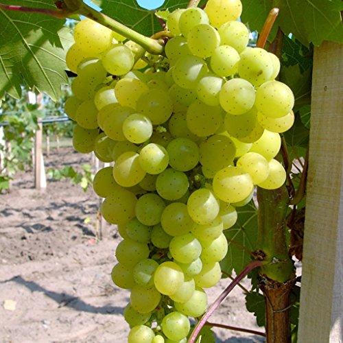 Lakemont, pilzfester Wein, kernlos und pilzfest, helle Traube, gestäbt, 60-100 cm im 2 Liter Topf