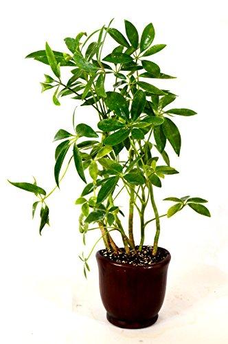 9GreenBox - Hawaiian Umbrella Schefflera Tree - Ceramic Pot Live Plant Ornament Decor for Home, Kitchen, Office, Table, Desk - Attracts Zen, Luck, Good Fortune - Non-GMO, Grown in The USA