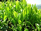Camellia Sinensis Variety Assamica Lịve Tea Plạnt – Green Tea Plạnt Lịve - Ship Bare Root