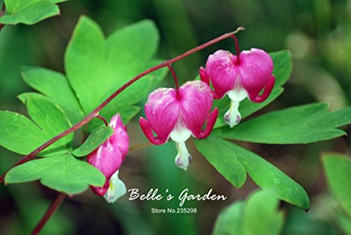 100pcs Multi-couleurs Coeur Begonia Graines Hardy Plantes Graines de fleurs exotiques d'ornement de fleurs Bonsai Graines 3