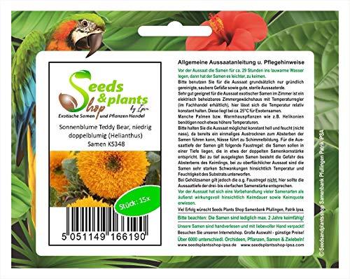 Stk - 15x Sonnenblume Teddy Bear, niedrig, doppelblumig (Helianthus) - Samen KS348 - Seeds Plants Shop Samenbank Pfullingen Patrik Ipsa