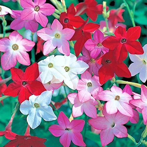 Flowering Tobacco Mix Seeds Hummingbirds Butterflies Garden/Patio Container...