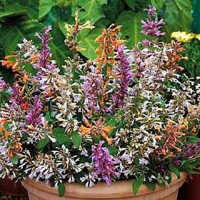 Home Garden - 60+ Agastache Fragrant Delight Flower Seed Mix Perennial – GG02