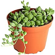 "Shop Succulents String of Pearls Succulent | Hand Selected for Health, Size | 4"" Grow Pot, Hanging House Plant, 4 inch"