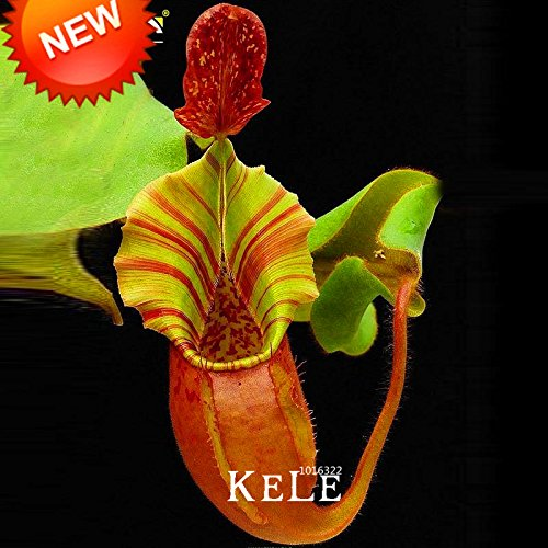 Vente! 50 Pcs / Paquet grosses graines Lapel Nepenthes Balcon pot Bonsai plantes Semences Carnivore plantes Semences, # E32CC6