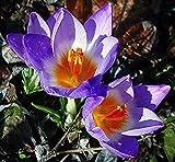 5 piezas 'tricolor' bulbos de azafrán de nieve muy resistentes flores exóticas y encantadoras fuerte adaptabilidad decoración de jardín de crecimiento rápido