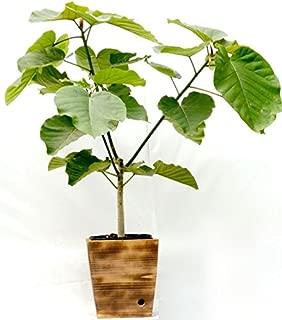 木製8寸ウンベラータ