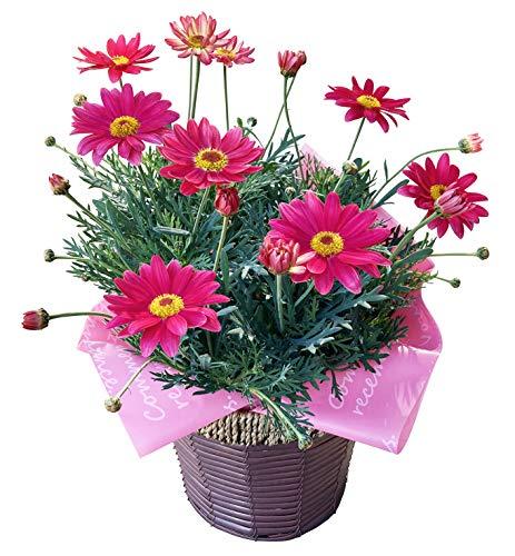 【Amazon限定ブランド】 花のギフト社 マーガレットの花 鉢花 花鉢 マーガレット鉢植え ギフト