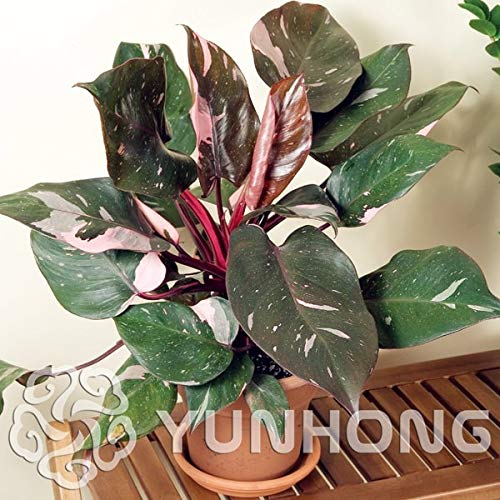 Pinkdose Philodendron Erubescens Bonsai 10 arten multi-farben Pflanzen Bonsai Hohe Keimung DIY Garen Mehrjährige Blühende Pflanze 100 STÜCKE