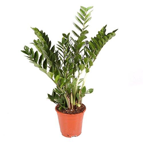 Zamioculca - Maceta 17cm. - Altura aprox. 70cm. - Planta viva - (Envío sólo a...