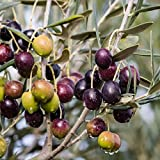 Combo 2 Olive Tree Live Plant for Growing Indoor, Outdoor- Olea Europaea - No Seed- 4-6 Inch Tall