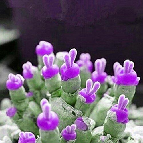 KimcHisxXv Monilaria Obconica zaden, 100 stuks Monilaria Obconica zaden konijntjes vorm Bonsai plant wooncultuur - blauw Monilaria Obconica zaden Samen von Monilaria Obconica lichtpaars