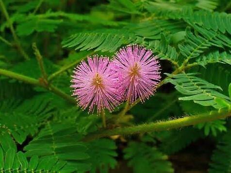 Les ventes chaudes! 100pcs Graines Mimosa Pudica Linn, feuillage Mimosa Pudica Sensible Bonsai plante jardin Livraison gratuite 8