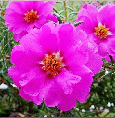 vegherb 4: 300Pcs Mixed Portulaca Seed Blumen Balkon Garten Topfbonsaipflanzen Portulak Scutellaria barbata Semillas einfach wachsen 4
