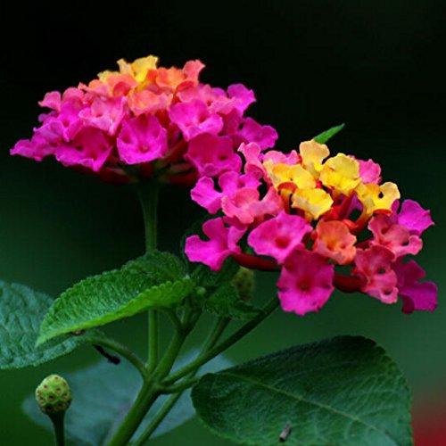Blumensamen für Garten exotische Pflanzensamen, Wandelröschen Samen - 30 Teilchen
