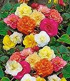 Cioler Seed House - Parfum de 100 pièces Bulbes de Begonia Graines de fleurs Panier suspendu Collection Begonia, une des plantes vivaces les plus populaires pour l'ombre!