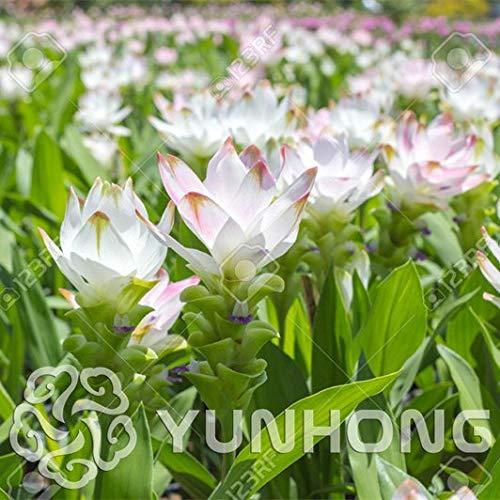 Bloom Green Co.. A la Venta 100PCS Curcuma Alismatifolia Bonsai Hierbas Plantas...