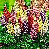 Semillas BloomGreen Co. Flor: altramuces herbáceas perennes en Plantas de exterior Sala de estar Jardín [Semillas Home Garden Eco Pack] Semillas de la planta