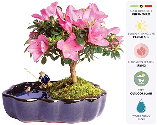 Brussel's Live Satsuki Azalea Outdoor Bonsai Tree in Zen Reflections Pot - 4 Years Old; 8' to 10' Tall