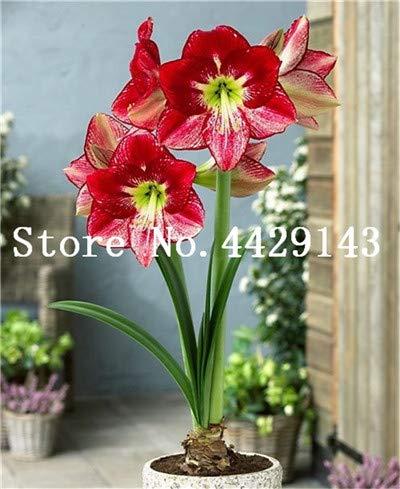 Shopmeeko Graines: vente Hot 100 Pcs/Sac Amaryllis Bonsai Balcon jardin pots Lily plantes et fleurs pour la maison Bonsai Plantes d'intérieur Fleurs Semillas: 7