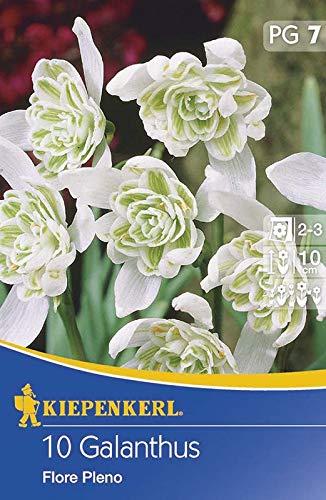 Kiepenkerl 533613 Gefülltes Schneeglöckchen Flore Pleno (10 Stück) (Schneeglöckchenzwiebeln)