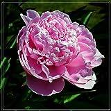 Raíz de Peonía,Plantas Preciosas Que Te Hacen Feliz,Plantas Ornamentales,Plantación De Jardines-1 Bulbo,2