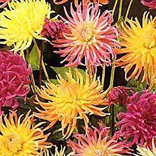 Dahlia Cactus Flowered Hybrids Annual Seeds