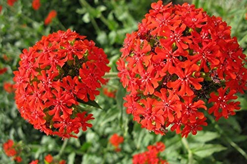 Silene Armeria Seeds 50+ Herbe Biologique Facile à Cultiver Graines (Sweet William Catchfly) Wildflower pour Bonsai Garden Outdoor Indoor Planting