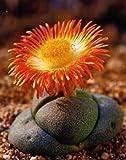 Tropica - Sukkulenten - Lebender Granit (Pleiopilos nelii) - 40 Samen -