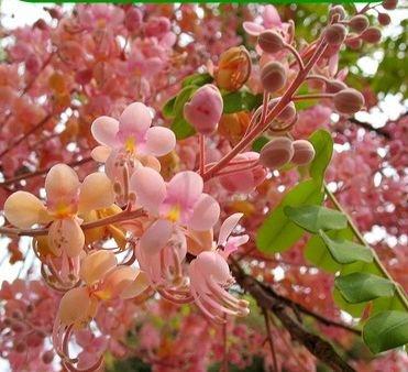 CASSIA GRANDIS, Apfelblütenkassie, Kassie, Senna grandis, exotische pink Kassie