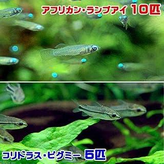 (熱帯魚)アフリカン・ランプアイ(10匹) + コリドラス・ピグミー(5匹) 北海道・九州航空便要保温