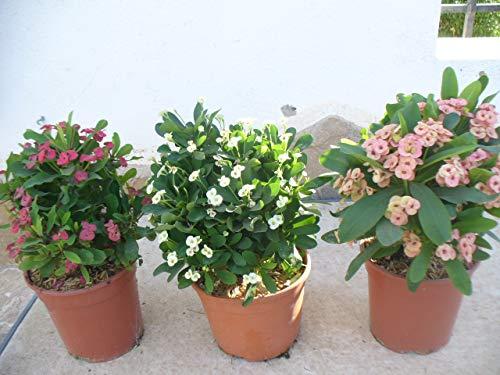 3er Set Christusdorn (Euphorbia millii) weiss,rot und rosa 35-45 cm, drei Pflanzen im Topf