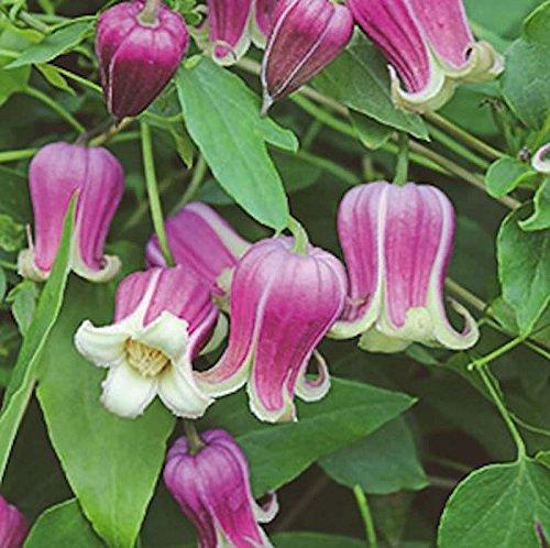 Englische Waldrebe Buckland Beauty 60-80cm - Clematis texensis