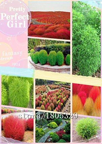 Brûler Bush herbe Graines 200pcs / sac Kochia Scoparia Graines jardin des plantes ornementales d'été Cypress Rapid Cultiver